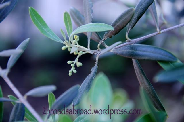 Olive buds